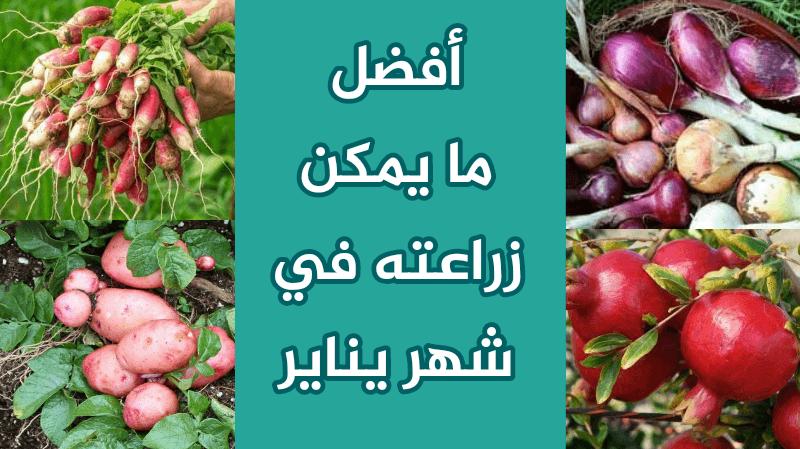 الزراعه في شهر يناير : ماذا يزرع في الشتاء