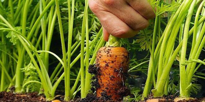 زراعة المحاصيل بالتناوب في حديقة خضروات صغيرة